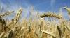 Метеорологи: Из-за засухи под угрозой  находятся и сроки посева озимых