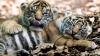 В зоопарке Таронга впервые показали трех новорожденных суматранских тигрят