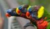 Сотням попугаев в Австралии потребовалась срочная помощь наркологов