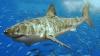 Белые акулы облюбовали Приморье, говорят ученые