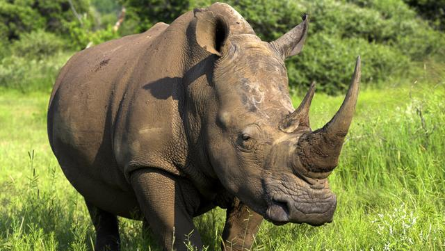 an introduction to the nature and the five types of rhinoceros on earth