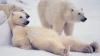"""В России началась акция  """"Усынови белого медведя"""""""