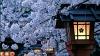 В канун Дня Благодарения и Рождества  в Нью-Йорке неожиданно зацвела сакура
