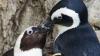 Пингвинов-геев разлучат