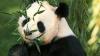 Самый дорогой чай на основе фекалий панды
