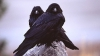 Ученые: Вороны для привлечения внимания сородичей  демонстрируют различные жесты