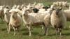 Новозеландцы предлагают включить стрижку овец в программу олимпийских игр