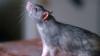 В Нью-Йорке назначили премию за фото самой страшной крысы подземки