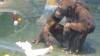 В зоопарке Удмуртии обезьяны научились мыть полы