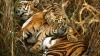 Тигры в Индии начинают постепенно вытеснять людей