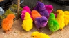 Разноцветные цыплята появляются на свет во Флориде