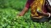 Чай станет теперь национальным напитком Индии