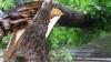 Во дворе одного из столичных жилых домов упала огромная тополиная ветвь