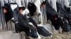 Фермеры в США устраивают концерты классической музыки для своих коров