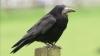 Ученые: Вороны узнают человека по голосу