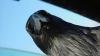 В Одессе агрессивные вороны нападают на людей