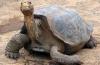 В Эквадоре умерла редчайшая черепаха