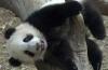 Китайцы придумали гимнастику для панд (ВИДЕО)