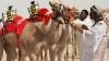 Изобретены робожокеи для верблюжьих гонок