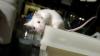 В США украли две тысячи мышей