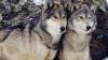 Жителей села Фузэука держат в страхе волки