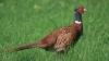 300 фазанов обрели свободу в Яловенском районе
