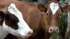 Сельчане распродают скот из-за недостатка кормов