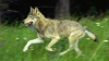 Волки нападают на животных в селах Молдовы