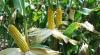 Гидрометеослужба: В 2012 урожая кукурузы будет меньше