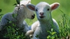 Ежегодно поголовье коз и овец в Молдове сокращается на 55 тысяч животных