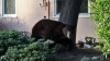 Медведь-блогер попал в лапы специалистов по отлову диких животных