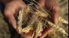 Треть урожая пшеницы в стране потеряна из-за засухи