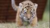 В Кишиневском зоопарке родился тигренок