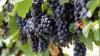 В этом году виноград подорожает на 10 процентов