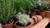Житель столицы выращивает и продает пряные травы (ВИДЕО)