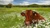 На одной из ферм Украины для коров включают джаз
