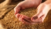 Повышение цен на зерновые может вызвать подорожание других товаров