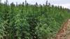 Бизнесмен из Яловен арендовал участок в Леова для выращивания конопли