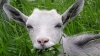 В Японии будут бороться с сорняками с помощью коз