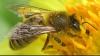 Пчелам не хватает цветущих растений для сбора меда из-за засухи