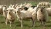 В Швейцарии овцы сообщат о нападении волков по SMS