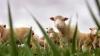 В Австралии овцы ходят в магазины (ВИДЕО)