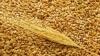 Скандал в Фалештах из-за румынской пшеницы