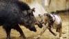 В охоте на кабана собаки - лучшие помощники