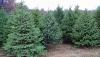 В Приднестровье усилили охрану хвойных деревьев