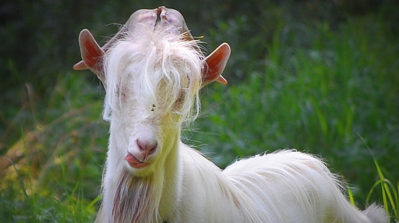 коза с челкой фото этом
