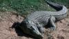 Посетители китайского зоопарка перебили почти всех крокодилов