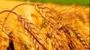 Прогнозы АНМ: Урожай зерновых в 2013 году будет выше