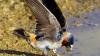 Американские ученые: естественный отбор укоротил ласточкам крылья