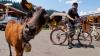 Коза, терроризирующая бразильскую деревню, стала звездой Интернета